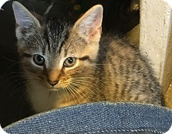 Domestic Shorthair Kitten for adoption in Loogootee, Indiana - Rue