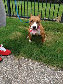 American Staffordshire Terrier/American Pit Bull Terrier Mix Dog for adoption in Covington, Tennessee - Sadie