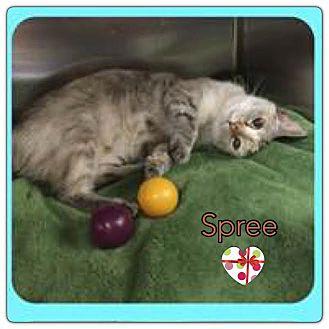 Siamese Cat for adoption in Harrisburg, North Carolina - Spree