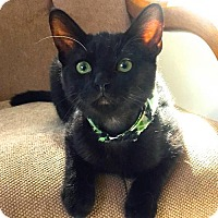 Domestic Shorthair Cat for adoption in san diego, California - Manut