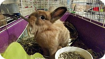 Lionhead for adoption in Greenfield, Indiana - Reuben