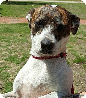 Jack Russell Terrier/Pointer Mix Dog for adoption in Allentown, New Jersey - Mia