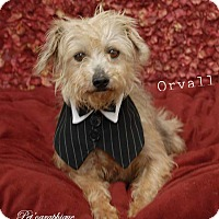 Terrier (Unknown Type, Small)/Yorkie, Yorkshire Terrier Mix Dog for adoption in Las Vegas, Nevada - Orvall