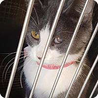 Domestic Shorthair Cat for adoption in Chester, South Carolina - MINNIE F-16-723