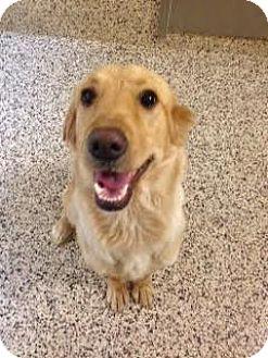 Golden Retriever Mix Dog for adoption in Aiken, South Carolina - Creek