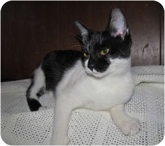 Domestic Shorthair Cat for adoption in New Egypt, New Jersey - Mischa