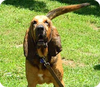 Bloodhound Dog for adoption in Dallas, Texas - Hunter