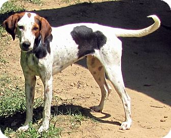 "English (Redtick) Coonhound Dog for adoption in Providence, Rhode Island - Darlin' the ""house hound"""