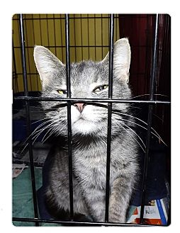 Chartreux Cat for adoption in Owosso, Michigan - Price