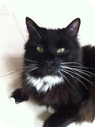Domestic Longhair Cat for adoption in Lancaster, Massachusetts - Fran