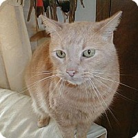 Domestic Shorthair Cat for adoption in Eldora, Iowa - Goober
