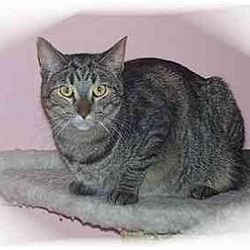 Photo 2 - Domestic Shorthair Cat for adoption in Montgomery, Illinois - Betsy