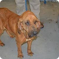 Adopt A Pet :: Maisie - Fayetteville, AR