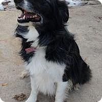 Border Collie/Australian Shepherd Mix Dog for adoption in Logan, Utah - Lady