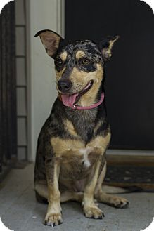 Cattle Dog/Dachshund Mix Dog for adoption in Baton Rouge, Louisiana - Lulu
