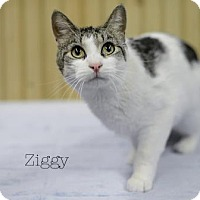 Domestic Shorthair Cat for adoption in West Des Moines, Iowa - Ziggy