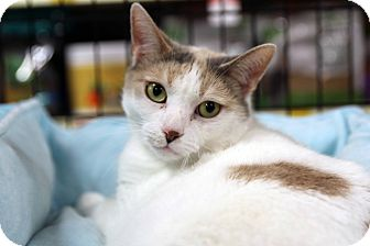 Calico Cat for adoption in Gainesville, Virginia - Tippa