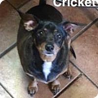 Dachshund Dog for adoption in Tahlequah, Oklahoma - Cricket