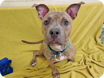 Pit Bull Terrier Mix Dog for adoption in Boston, Massachusetts - CHAPPIE