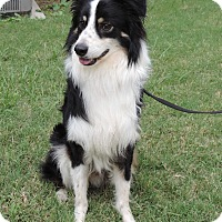 Adopt A Pet :: BLAKE - GORGEOUS BOY - Plano, TX