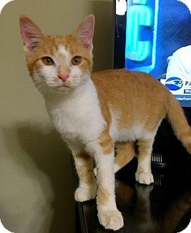 Domestic Shorthair Kitten for adoption in Huntsville, Alabama - Ollivander