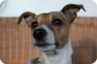 Jack Russell Terrier Dog for adoption in Blue Bell, Pennsylvania - Samantha