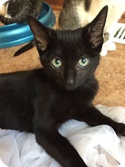 Domestic Shorthair Kitten for adoption in Maywood, Illinois - Lester