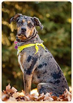 Catahoula Leopard Dog Mix Dog for adoption in Shakopee, Minnesota - Haley the Catahoula D3343