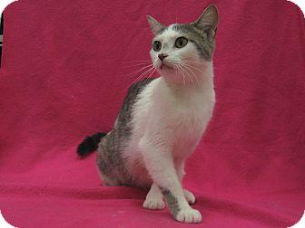 Domestic Shorthair Cat for adoption in Redwood Falls, Minnesota - Vivien