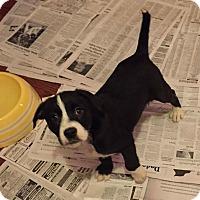 Adopt A Pet :: Thelma - Sagaponack, NY