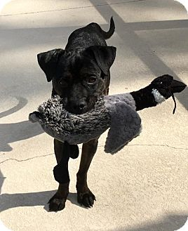 Labrador Retriever Mix Dog for adoption in Lithia, Florida - CUY-17