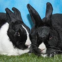 Dutch for adoption in Pflugerville, Texas - Ryo-Ohki, Slinky, Thumbprint
