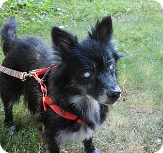 Pomeranian/Dachshund Mix Dog for adoption in Seymour, Connecticut - Marjie