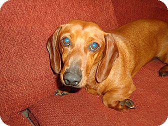 Dachshund Mix Dog for adoption in Plainfield, Connecticut - Porkchop