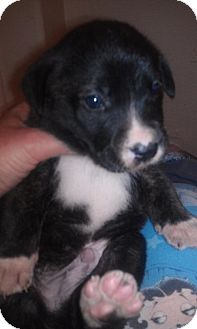 Labrador Retriever/German Shepherd Dog Mix Puppy for adoption in Scottsdale, Arizona - Justice