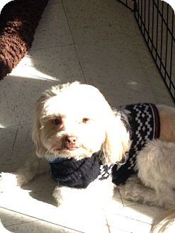 Shih Tzu/Lhasa Apso Mix Dog for adoption in Brea, California - Charlie