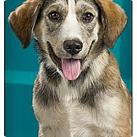 Adopt A Pet :: Bugsy - Owensboro, KY