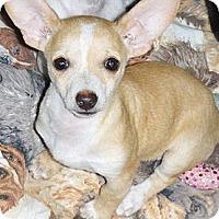 Adopt A Pet :: Cholla - Phoenix, AZ