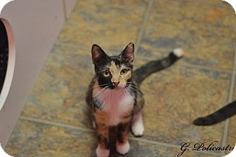Calico Cat for adoption in Staten Island, New York - Shirley