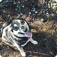 Adopt A Pet :: Ringo - Gig Harbor, WA