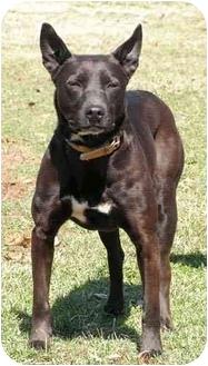 American Pit Bull Terrier Mix Dog for adoption in Centerton, Arkansas - Rosie