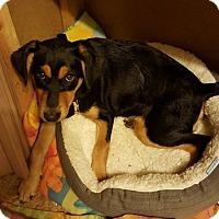 Adopt A Pet :: Diesel - norridge, IL