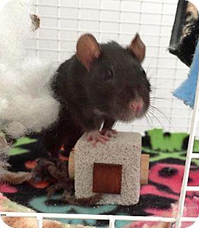Rat for adoption in St. Paul, Minnesota - Tank Girl