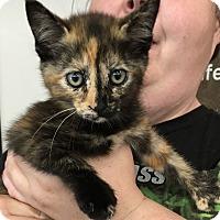 Adopt A Pet :: Mittzi - Cerritos, CA