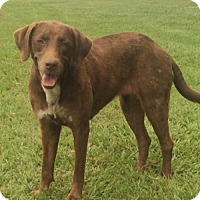 Labrador Retriever/Chesapeake Bay Retriever Mix Dog for adoption in Slidell, Louisiana - Rose