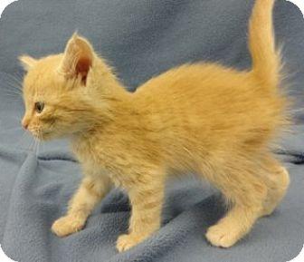 Domestic Shorthair Kitten for adoption in Olive Branch, Mississippi - Larry