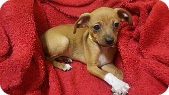 Chihuahua/Miniature Pinscher Mix Puppy for adoption in Accident, Maryland - Cane