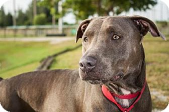 Weimaraner/American Staffordshire Terrier Mix Dog for adoption in Loxahatchee, Florida - Cece