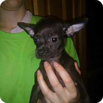Chihuahua Puppy for adoption in Venice, Florida - Ava East Orlando