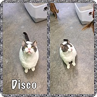 Adopt A Pet :: Disco - Bryan, OH